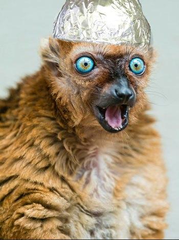 lemur11tinfoil